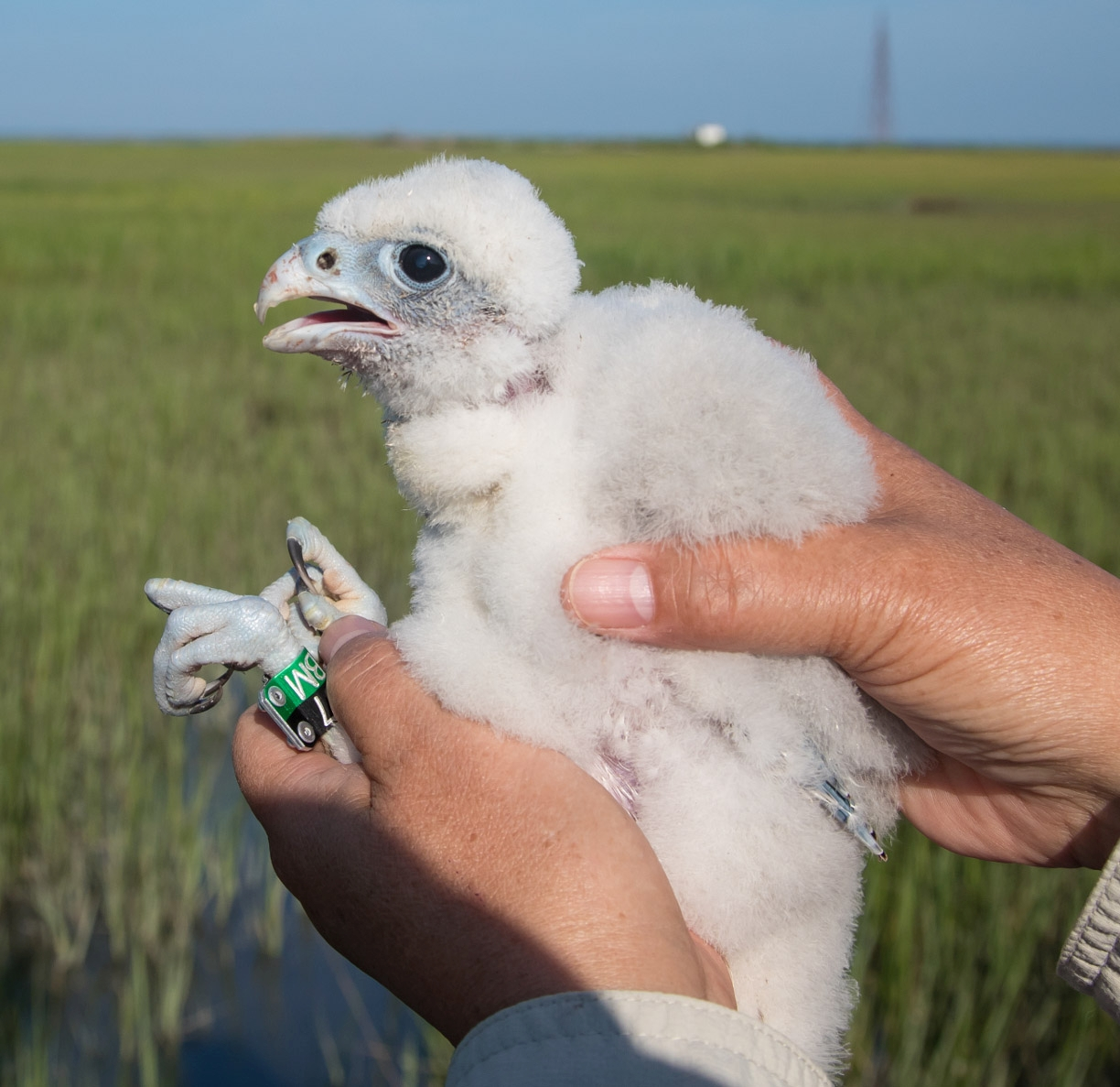 Marian Watts holds a recently-banded chick hatched on the Cobb Island Towe