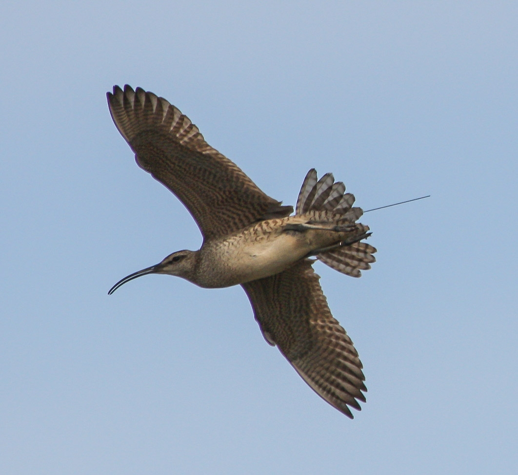 Whimbrel in flight with transmitter antennae extending beyond the tail